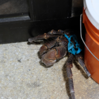 coconut crab- watch out!